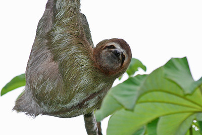 3-toed sloth 2