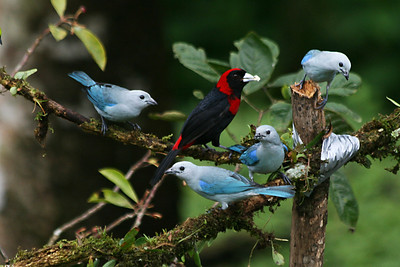 Blue and Gray Tangers with Crimson Collared Tanager