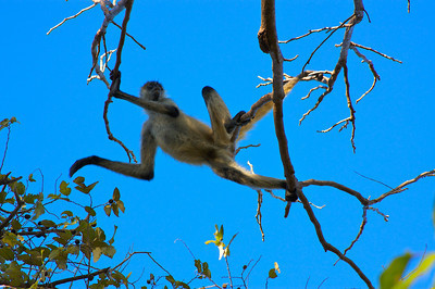 A spider monkey. He went right over the top of me in the campground at Santa Rosa National Park.
