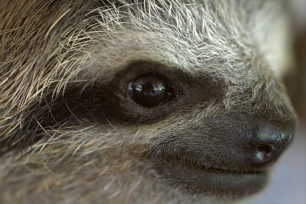 Sloth - Bradypus variegates