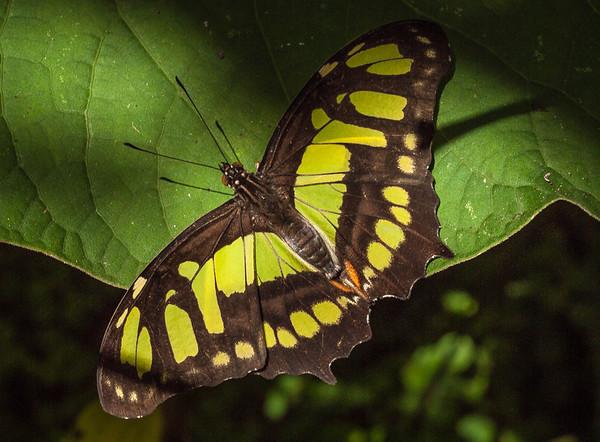 Siproeta stelenes biplagiata - Malachite Butterfly