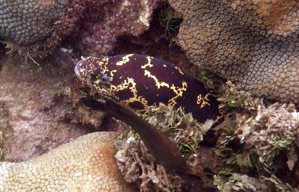 Echidna catenata - Chain moray