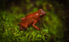 Oophaga pumilio - Strawberry Poison Dart Frog