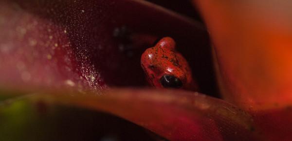 Oophaga pumilio - Strawberry Poison Dart Frog