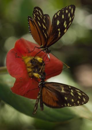 Heliconius hecale zuleika