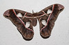 Philosamia cynthia - The Ailanthus Silk Moth