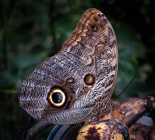 Caligo memnon memnon - The Owl
