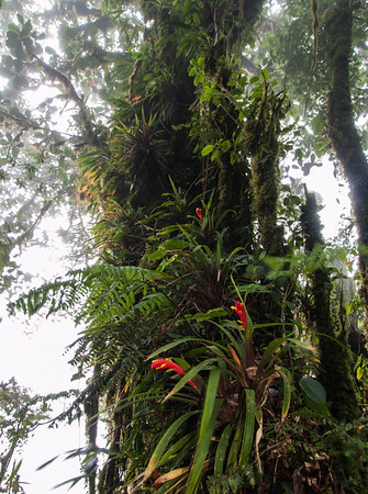 Bromeliads - Monteverde