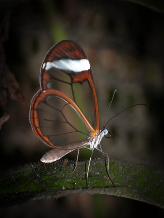 Greta oto - The Glass Wing Butterfly