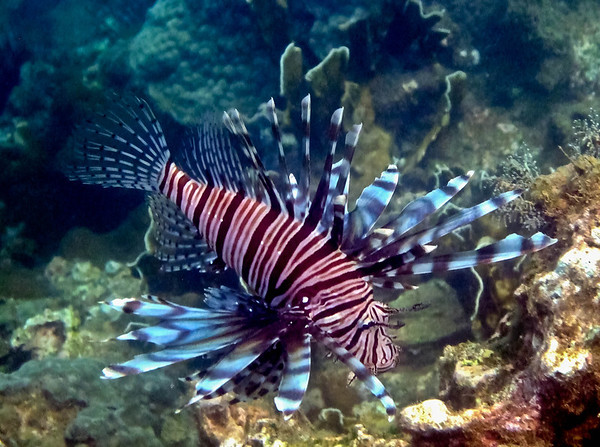 Pterois miles - common lionfish