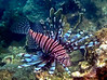 Pterois miles - common lionfish