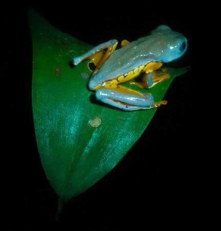 Cruziohyla calcarifer
