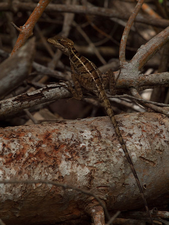 Norops polylepis - Anole Lizard