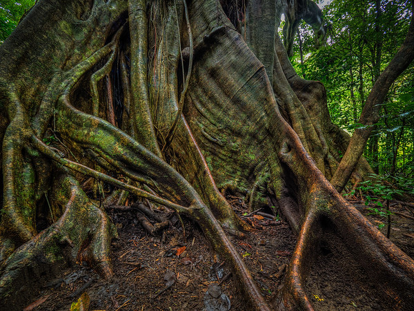Twisty Srangler Fig Roots