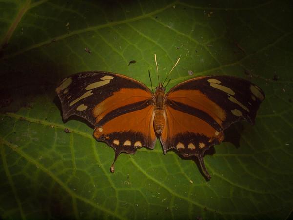 Consul fabius cecrops - Tiger-striped Leafwing