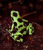 Dendrobates auratus - Green and Black Poison Dart Frog