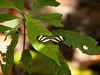 Heliconius charitonius - Zebra Heliconia