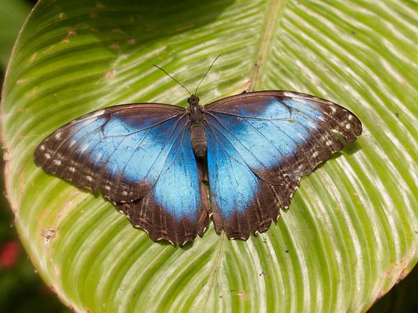 Morpho peleides limpida - Blue Morpho