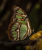 Siproeta stelenes - The Malachite