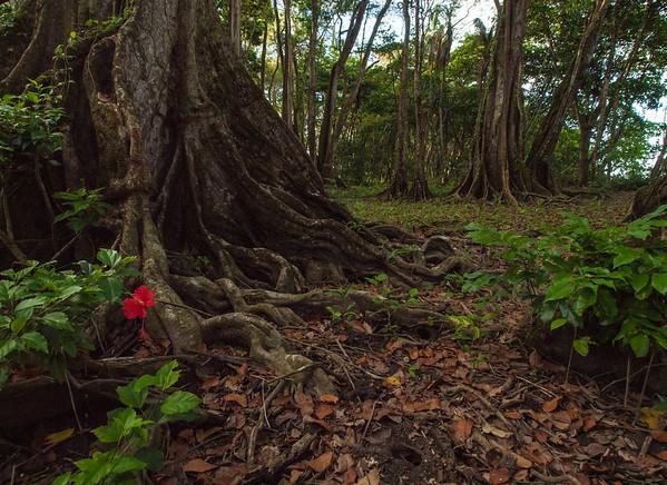 Hibiscus flower in Rain Forest Glen
