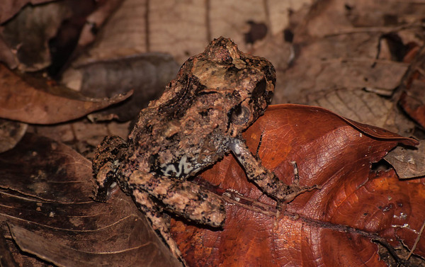 Craugastor fitzingeri - Broad-headed Rain Frog