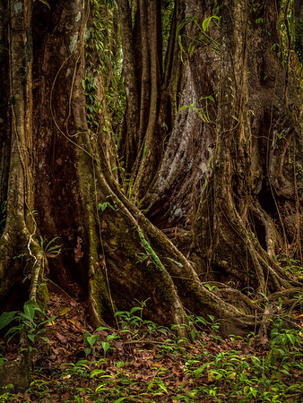 Rainforest Trees near Cahuita