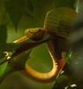 Bothriechis schlegelii - Eyelash Palm Pit Viper
