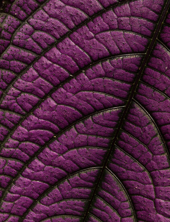 Purple Leaf Study