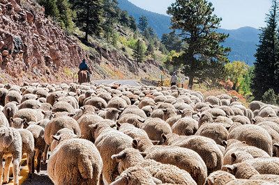 The autumn moving of the sheep near Bayfield, Colorado