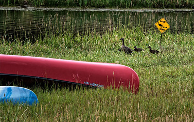 At the beginning of summer, Ducks on Lake Simpatico in Forest Lakes, Colorado, are given the right of way