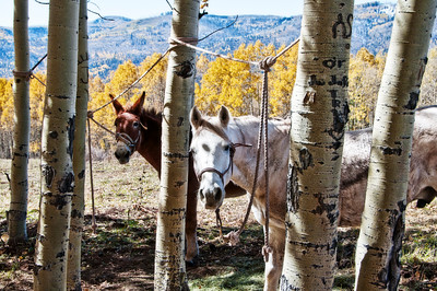 In Autumn near Durango, Colorado the pack animals stand on tether while hunting is underway.