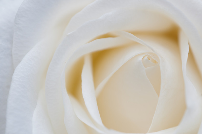 Close up of a cream Rose