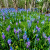 Field filled with blue lilies at the foot of an Aspen grove
