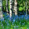 Camas Aspen grove in the Spring time