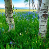 Wildflowers in Aspen grove with distant mountain range
