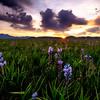 Centennial Marsh with blooming Camas sunrise sunburst