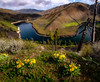 Arrowleaf balsamroot bloming morning on Boise River