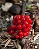 Image 25 v00<br /> Original:  Hosta berry stalk lying on wood chips.<br /> <br /> October 5, 2011