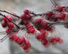 Image 06 v01<br /> Make-believe cherries. (Real crab apples)<br /> Layer 1:  Ocean Ripple, red, 69% opacity<br /> Layer 2:  Ink outlines, 74% opacity