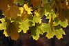 Image 01 v00<br /> ORIGINAL: I can never fully capture the magical sight of back-lighted leaves in autumn...but I keep trying.