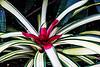 Bromeliad 01 - Starting image<br /> <br /> Tropical Dome, Conservatory, Hidden Lake Gardens, Michigan<br /> Taken December 20, 2014