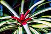 Bromeliad 02 - Topaz Adjust Extra Color preset<br /> <br /> Tropical Dome, Conservatory, Hidden Lake Gardens, Michigan<br /> Taken December 20, 2014