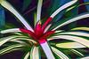 Bromeliad 03 - Topaz Simplify Cartoon II preset<br /> <br /> Tropical Dome, Conservatory, Hidden Lake Gardens, Michigan<br /> Taken December 20, 2014