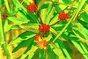 Colorful buds of Butterfly Weed - filtered version