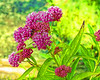 D196-2017<br /> >Swamp milkweed, Asclepias incarnata<br /> <br /> Willow Pond area wildflowers<br /> Matthaei Botanical Gardens, Ann Arbor<br /> Taken July 17, 2017