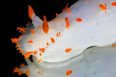 Clown Nudibranch - Day Island Wall near Tacoma, Washington