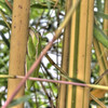 Tree Frog on Bamboo