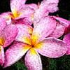 Plumeria Blossoms