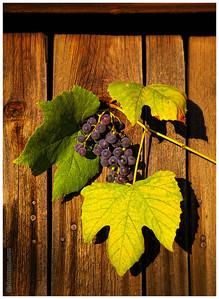 G - Grapes