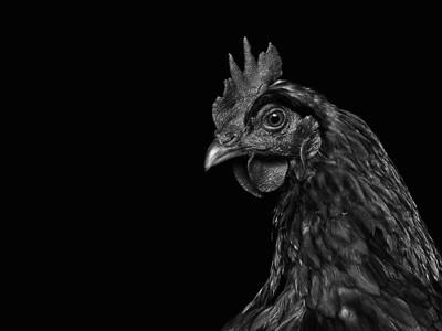 Zooology - Chicken, Study